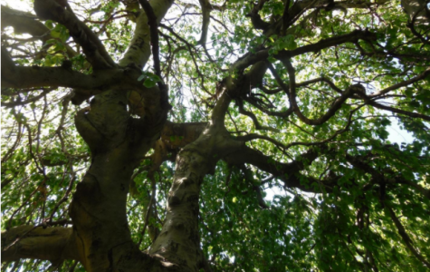 The Tree, a 200 year oak to be cut down
